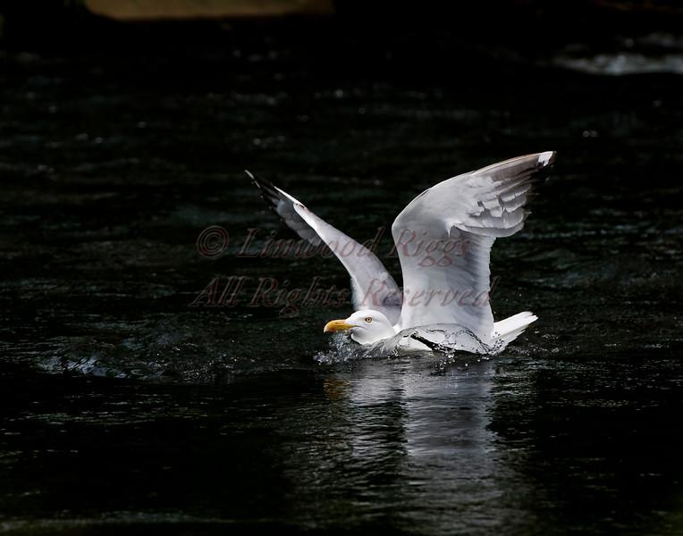 A Herring Gull settles onto Cobbosee Stream