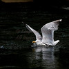 A Herring Gull settles onto Cobbosee Stream