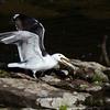 A gull devours an alewife.