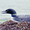 A Common Loon sits on a nest in Central Maine.