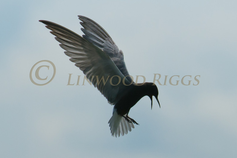 Black Tern flies above Messalonskee Lake in Belgrade, Maine