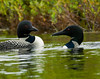 Loons on Messalonskee Lake, Belgrade, Maine