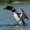 Common Loon.