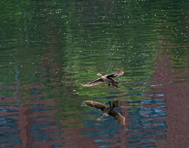 A duck flies above the Kennebec River in Augusta, Maine.