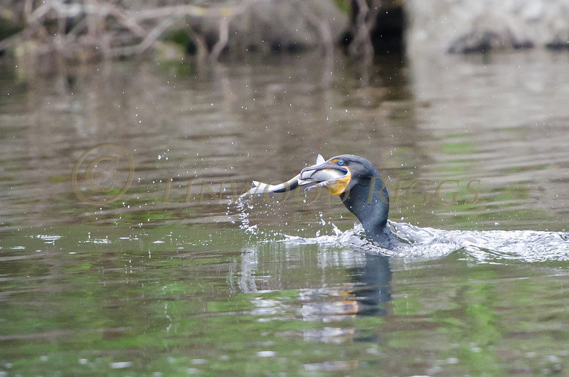 A Double-Crested Cormorant devours an alewife
