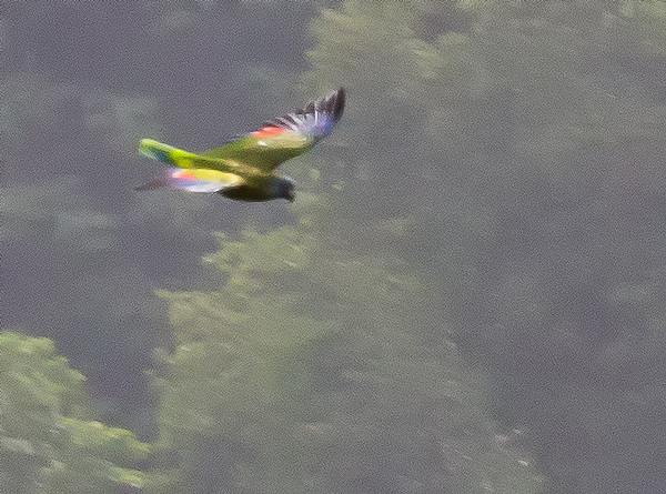 Saint Lucia Amazon Parrot