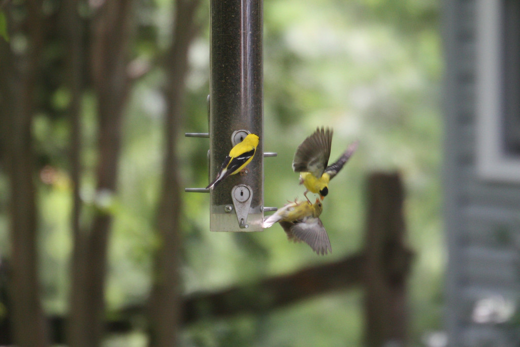 Goldfinches in agressive mode