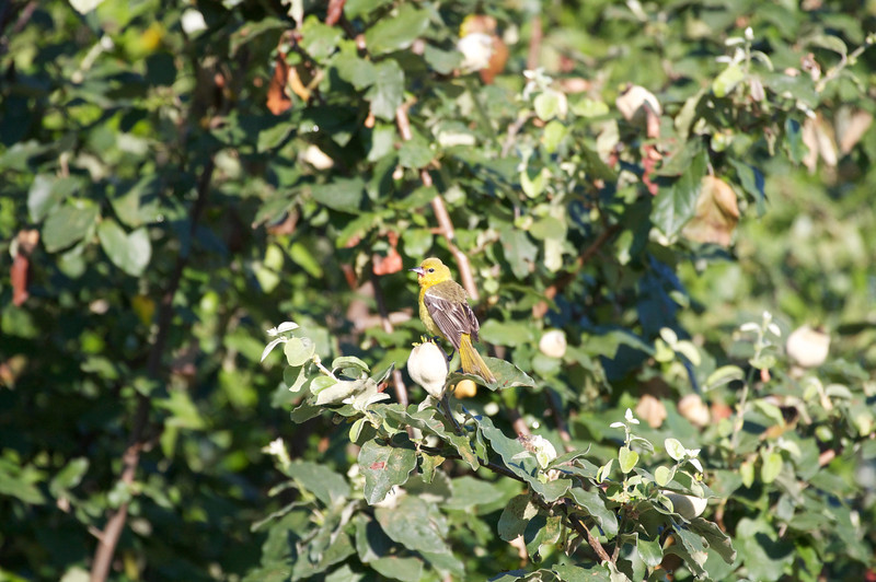 baby orchard oriole