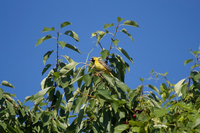 Orchard Oriole immature