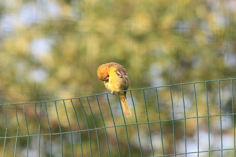 Orchard Oriole baby