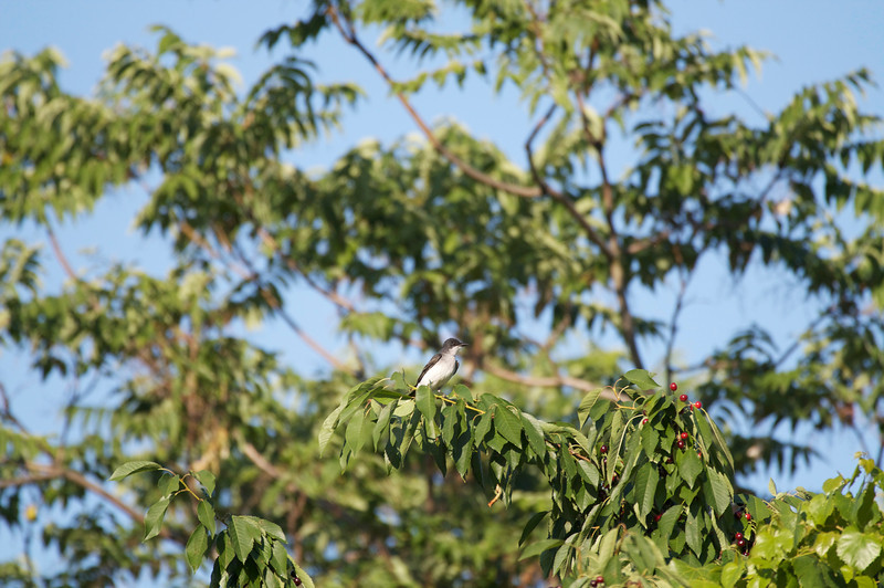 Eastern Kingbird baby?