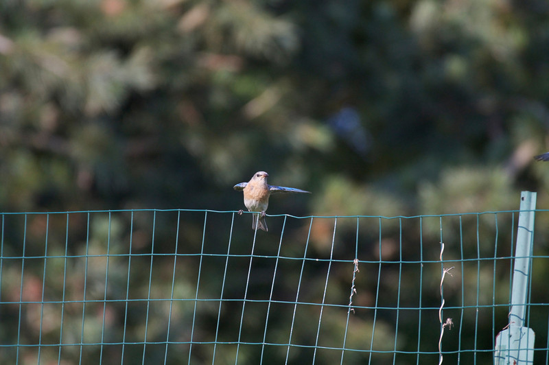 Bluebird with wings spread 2