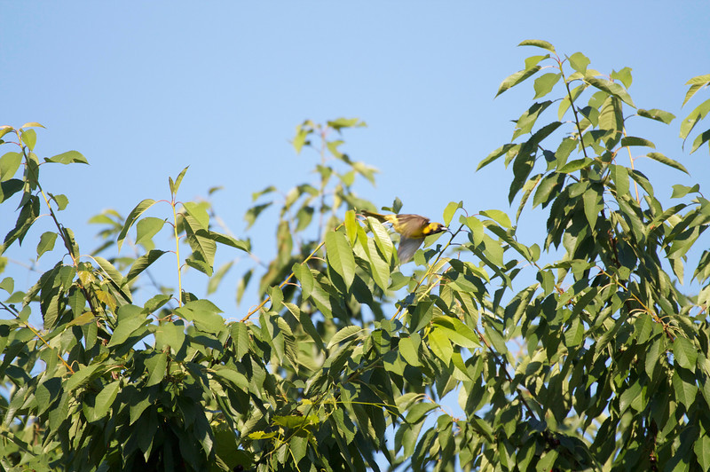 immature male orchard oriole in flight