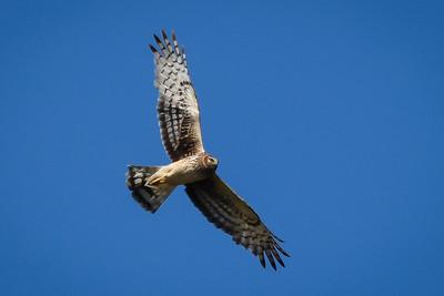 _DSC3522 Hawk