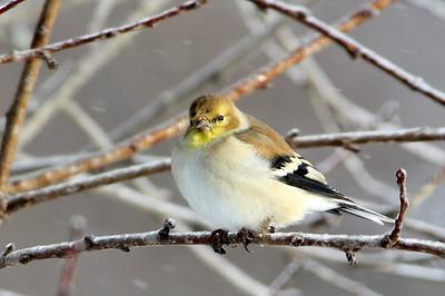 American goldfinch, winter color