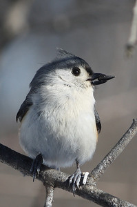Tufted titmouse with a mouthful ;-)