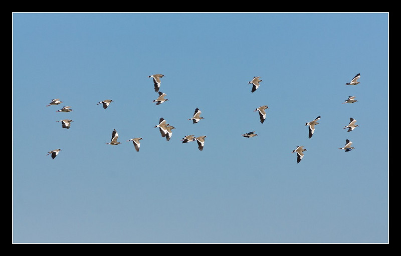 Flock<br /> There were lots of flocks of birds in Botswana - there seems to be many more than anywhere else I have been. Swallows, swifts, quela, storks, starlings, and here, plovers.