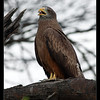 Yellow-Billed Kite, Makgadikgadi Pans National Park, Botswana, 2010