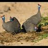 Helmeted Guinea Fowl, Moremi, Botswana, 2010