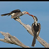 Hornbills Tapping Beaks, Moremi, Botswana, 2011