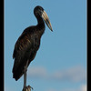 Open-billed Stork, Maun, Botswana, 2010