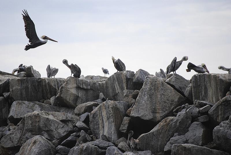 Pelicans on Jetty<br /> Dana Point