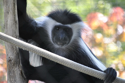 Colobus Monkey  San Diego Zoo