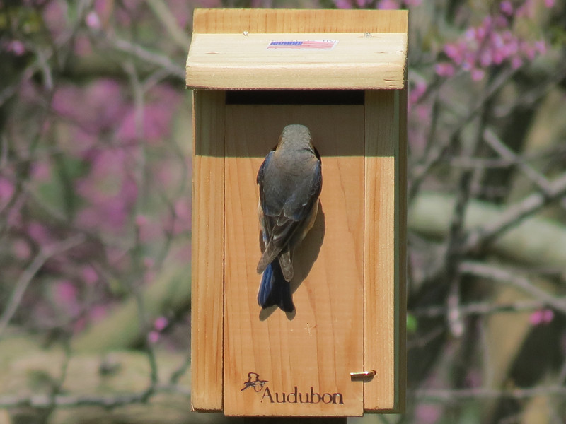Female Bluebird checking out the new bird house.