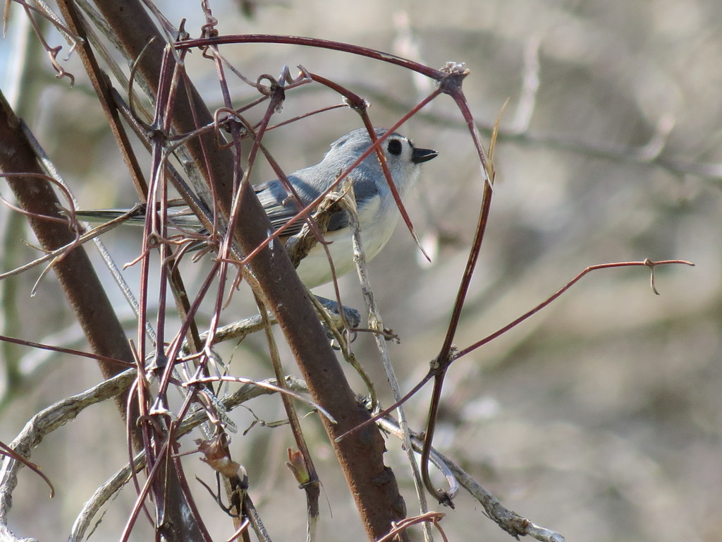 Titmouse on April Fools Day.