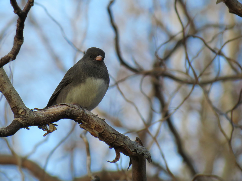 Junco on a cold December 30.