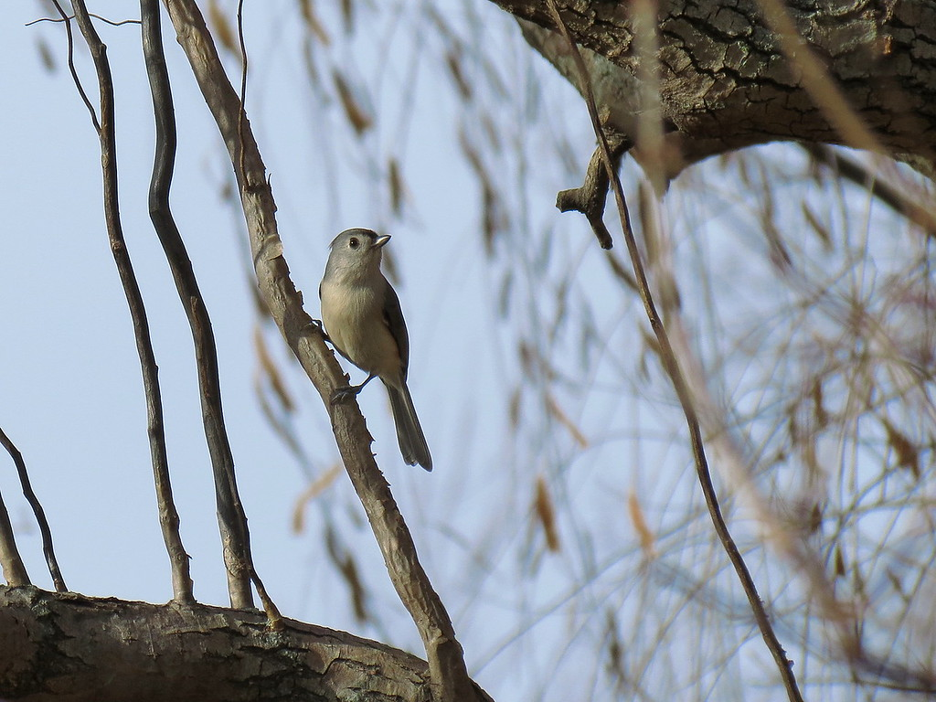 Tufted Titmouse on December 3.