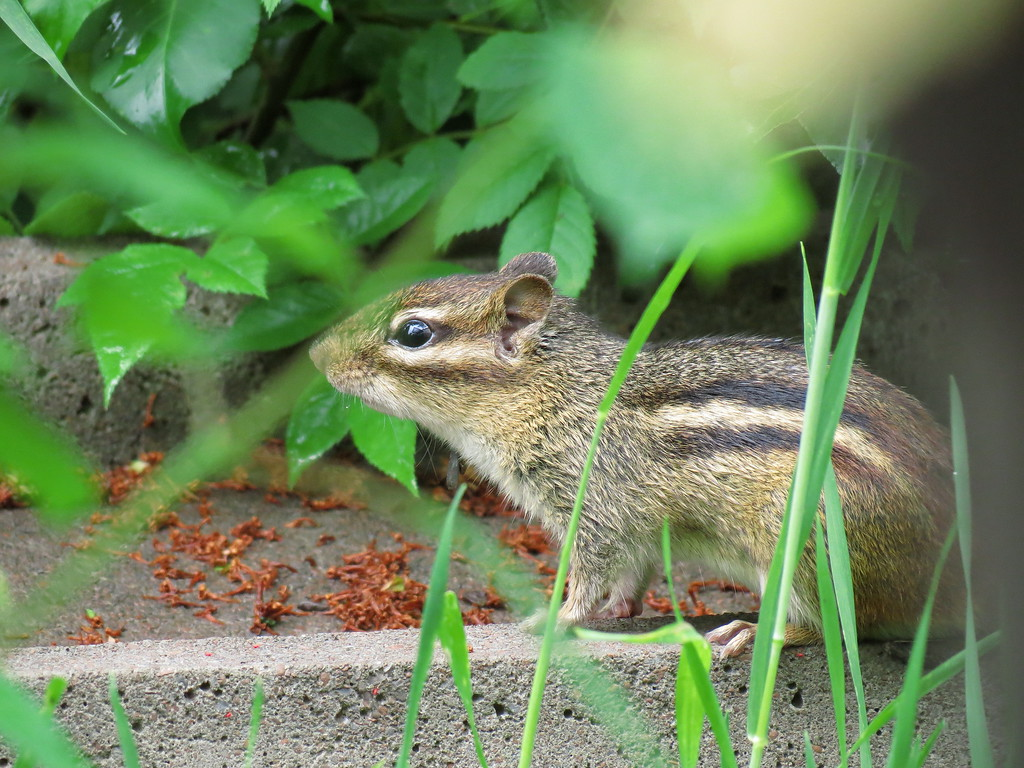 A small ground squirrel on an old rain splash block.