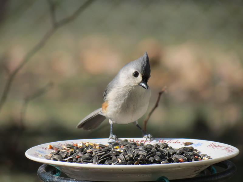 Titmouse on a warm Pi Day -- 3.14