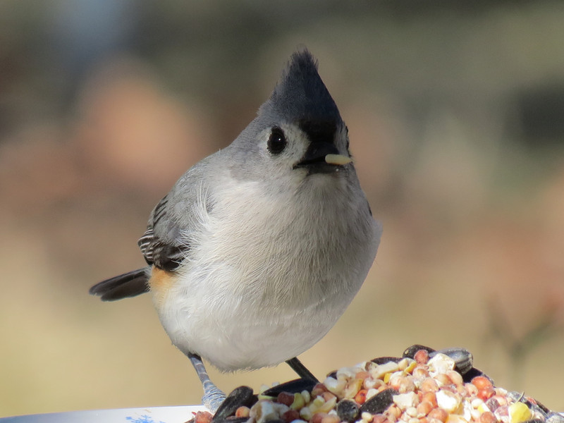 Tufted Titmouse with a seed.