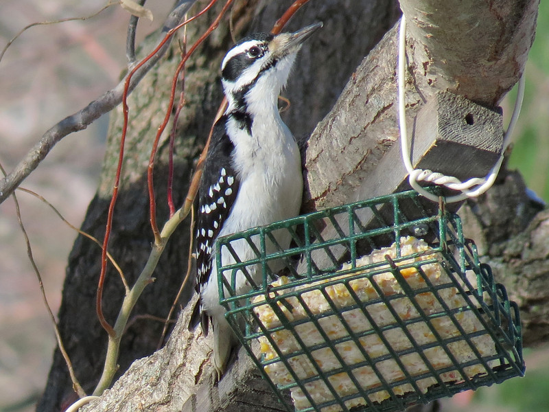 Hairy Woodpecker<br /> This bird is similar to the Downy but is noticeably larger.