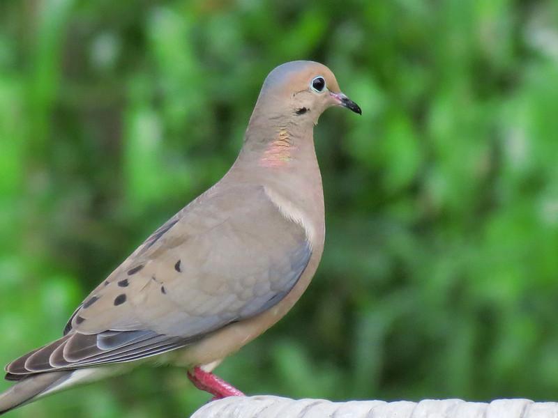Dove at the birdbath this evening.