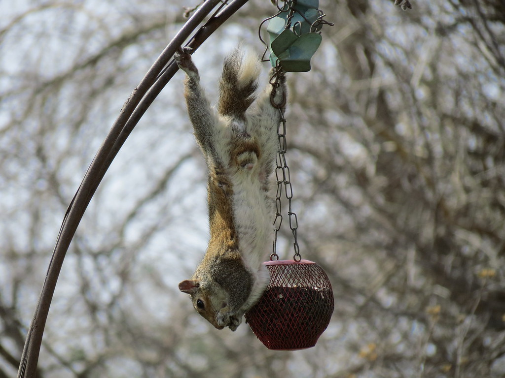This acrobatic squirrel has figured out how to get the sunflower seeds from this feeder.