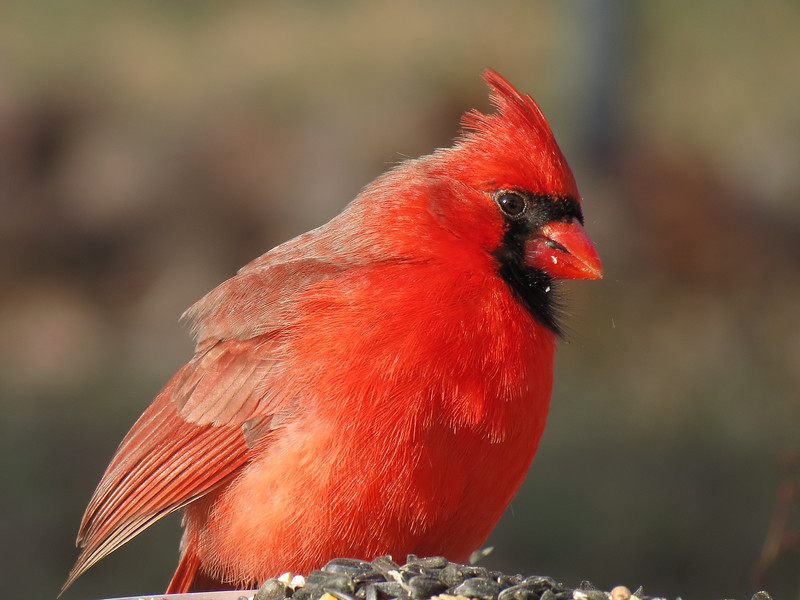 Cardinal eating sunflower seeds in January.