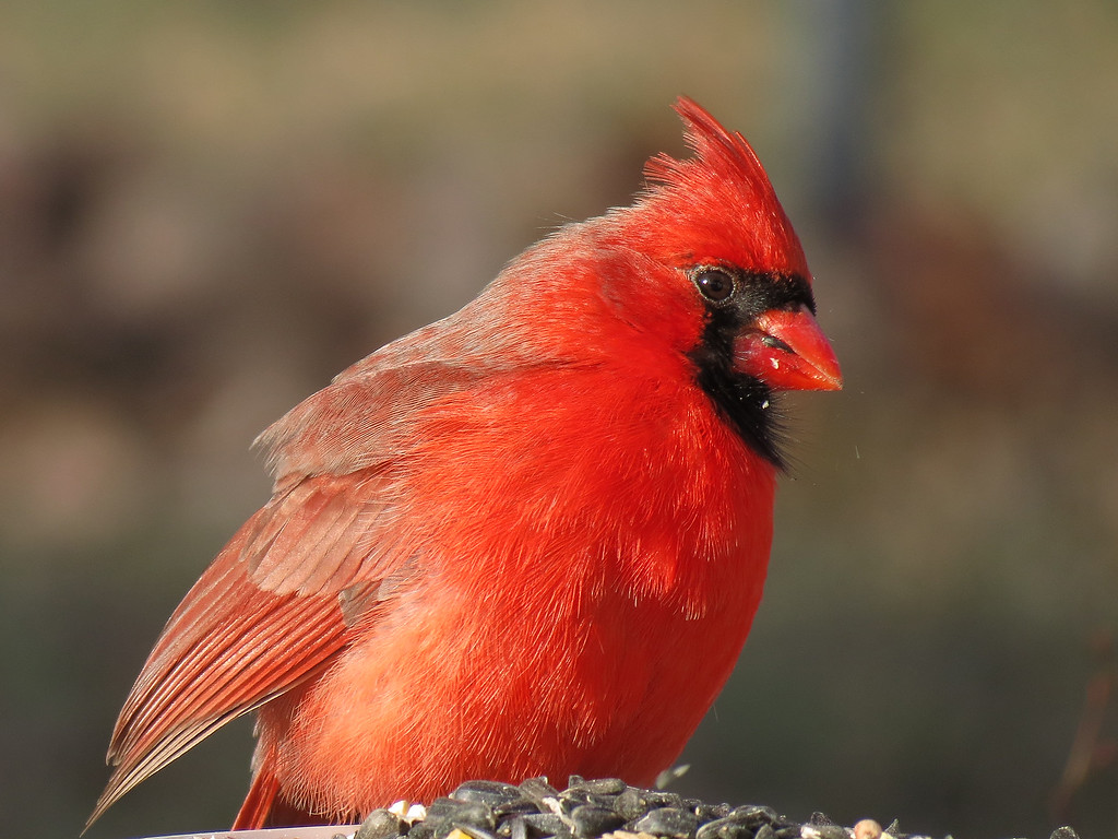 Cardinal eating sunflower seeds in January.