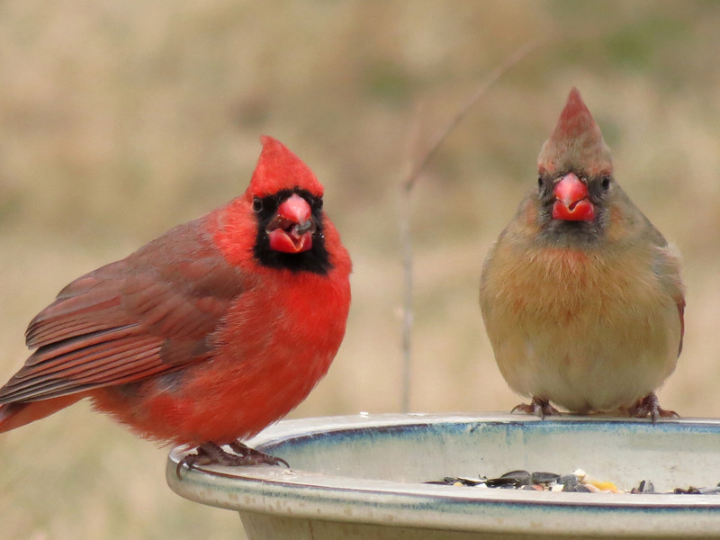Cardinals on a cold day in January.