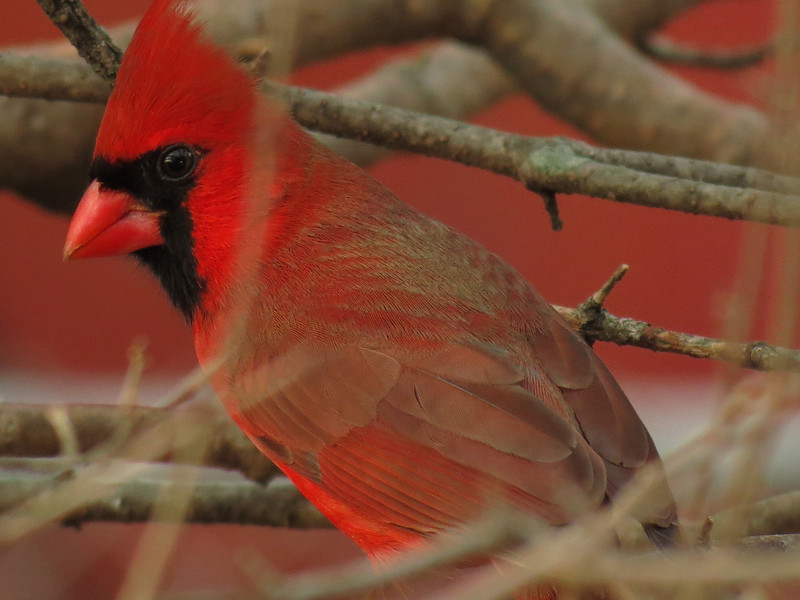 Northern Cardinal on a very warm, cloudy and windy January 28.