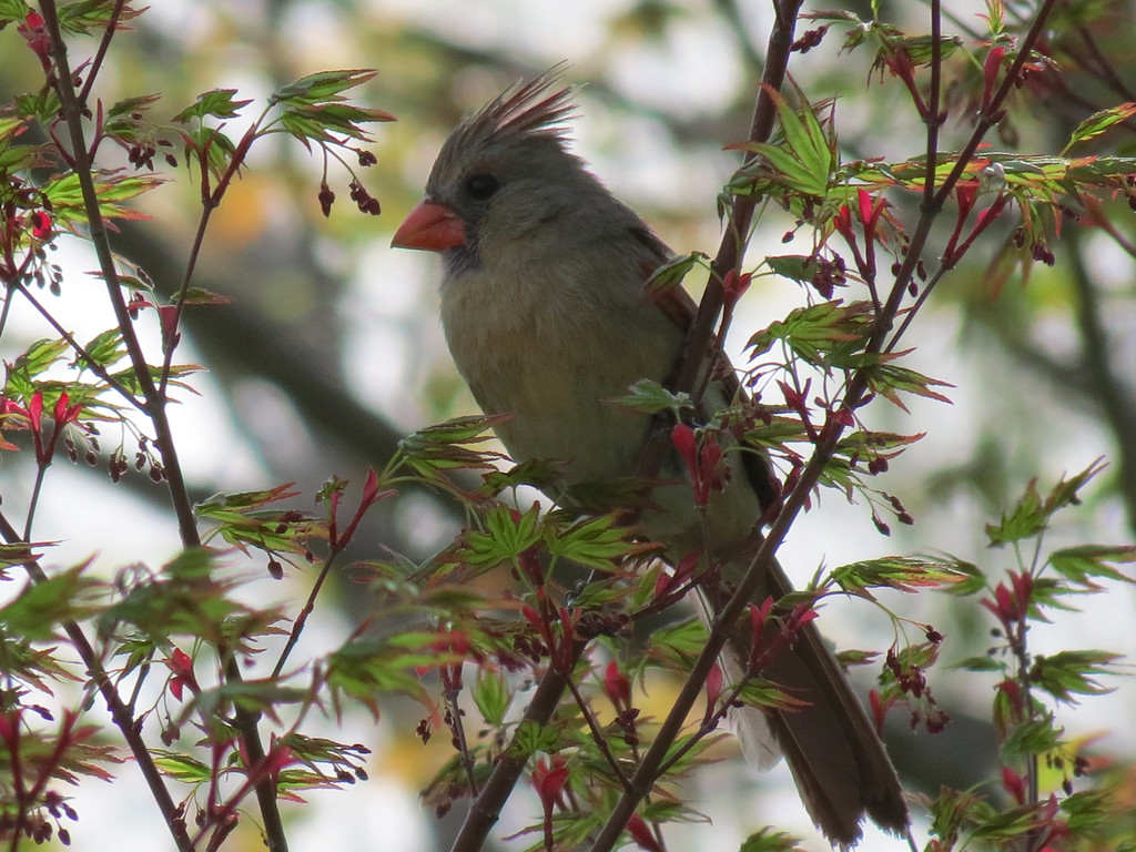 Cardinal in Japanese Maple Tree at the end of day.