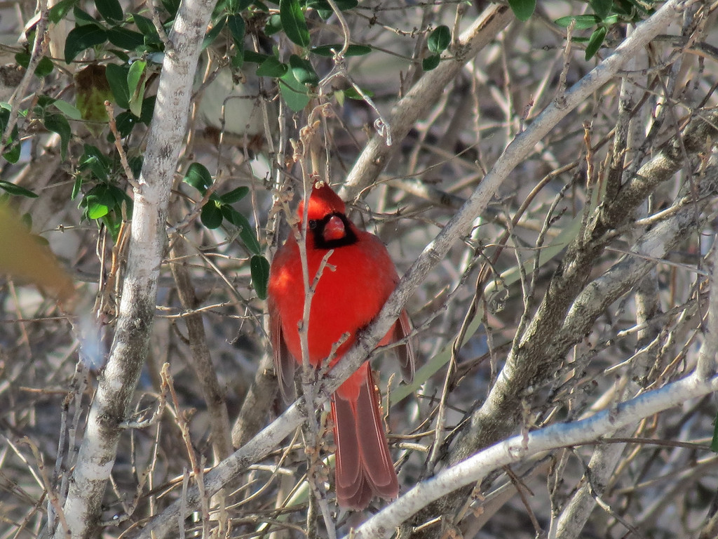 Red Cardinal in the Witch Hazel.