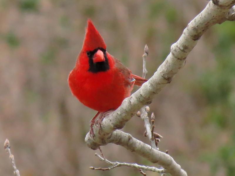 Cardinal on a cold January 21.
