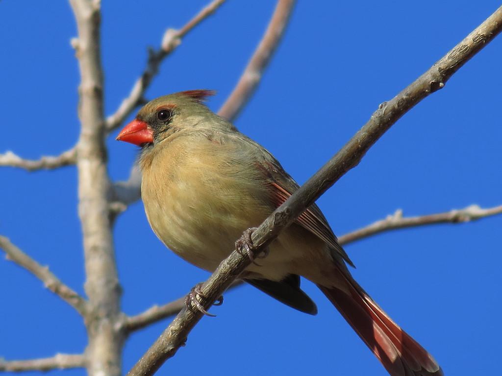 Cardinal against the very blue sky on January 8, 2013.