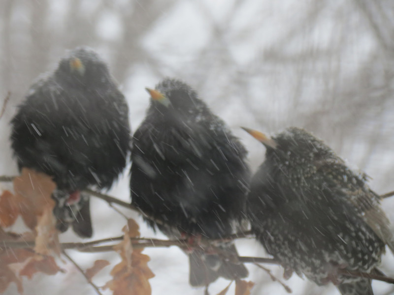 "This was taken through the window during the height of the snow storm as<br /> these three Starlings take shelter in the European Oak tree in the side yard.<br /> ""One for All and All for One"""