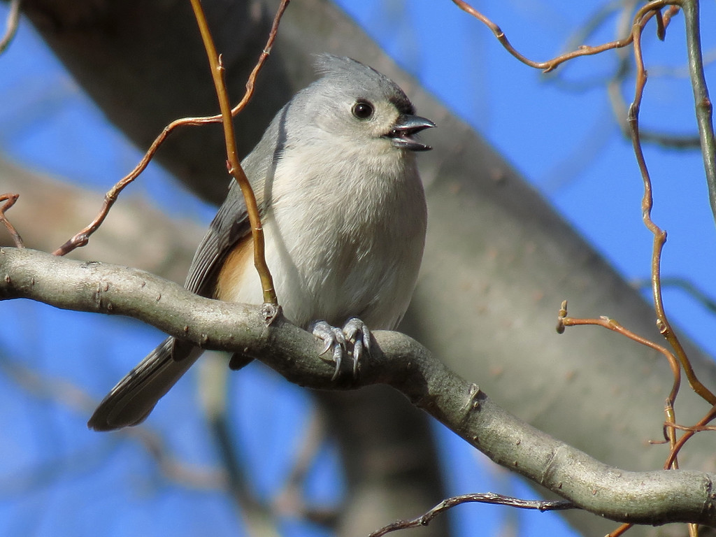 Tufted Titmouse in a Corkscrew Willow Tree.