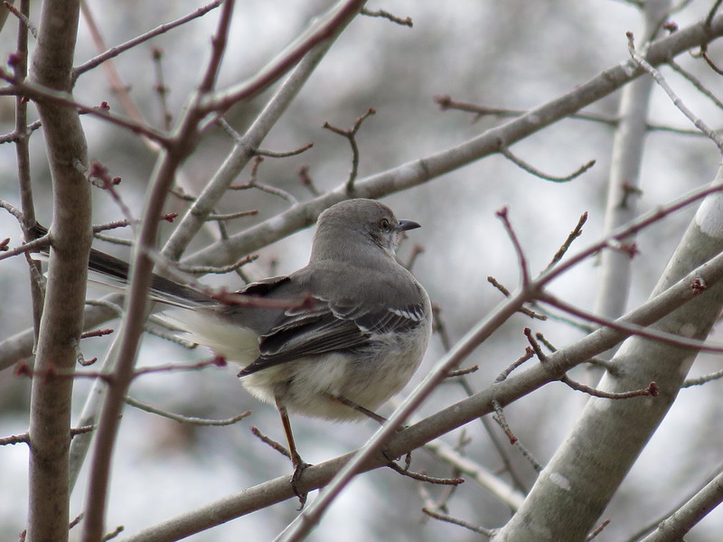 Mockingbird on a cold December 30.