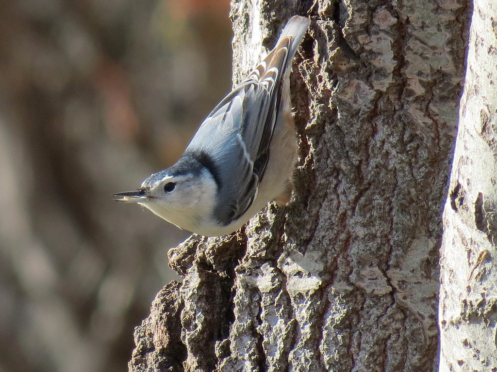 Nuthatch on December 3.