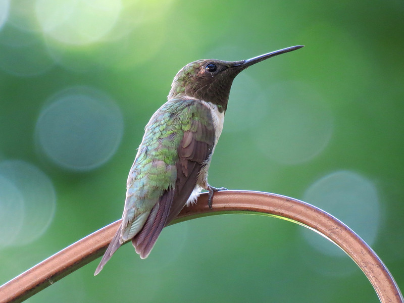 One of the Ruby Throated Hummingbirds.